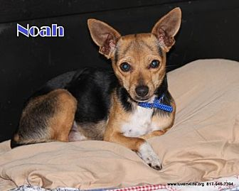 Chihuahua Mix Dog for adoption in Rhome, Texas - Noah
