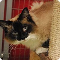 Adopt A Pet :: Siam - Winchendon, MA