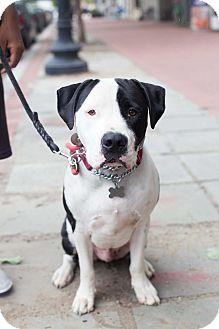 Bulldog Mix Dog for adoption in Washington, D.C. - Patch