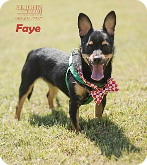 Chihuahua Mix Dog for adoption in Laplace, Louisiana - Faye