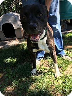 American Bulldog/Boxer Mix Dog for adoption in Monroe, Michigan - Oscar