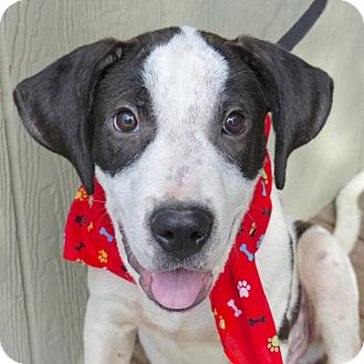 Hound (Unknown Type) Mix Puppy for adoption in Baton Rouge, Louisiana - Sully