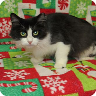 Domestic Mediumhair Cat for adoption in Marble Falls, Texas - Lacy