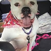 Adopt A Pet :: Jellybean - Ft. Lauderdale, FL