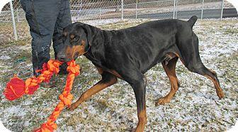 Doberman Pinscher Mix Dog for adoption in Reeds Spring, Missouri - Zool