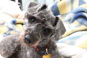 Schnauzer (Miniature)/Poodle (Miniature) Mix Dog for adoption in La Verne, California - Taquito