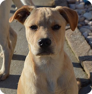 Labrador Retriever Mix Puppy for adoption in Plainfield, Connecticut - Wilson