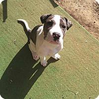 Adopt A Pet :: Merle - Durham, NC