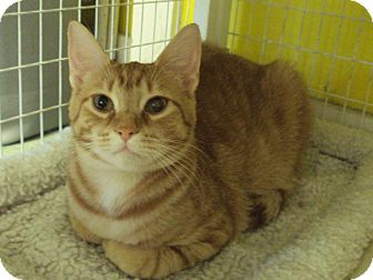 Domestic Shorthair Kitten for adoption in Memphis, Tennessee - Cougar