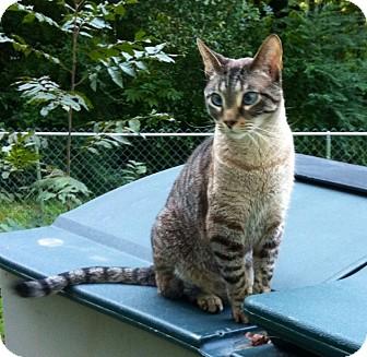 Siamese Cat for adoption in Leeds, Alabama - Fonzi