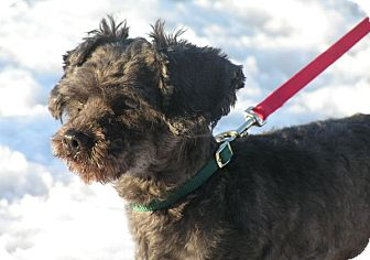 Poodle (Miniature)/Shih Tzu Mix Dog for adoption in Rigaud, Quebec - Henri