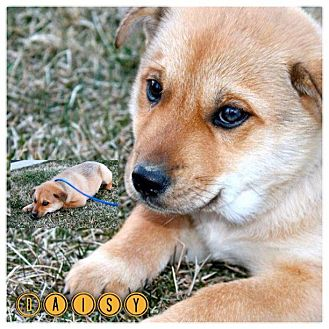 Australian Shepherd/Chow Chow Mix Puppy for adoption in Garden City, Michigan - Daisy