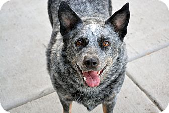Blue Heeler Dog for adoption in Cheyenne, Wyoming - Bear