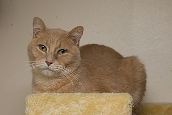 Domestic Shorthair Cat for adoption in Chicago, Illinois - Buff