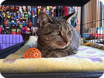 Domestic Shorthair Cat for adoption in Woodstock, Ontario - Willow