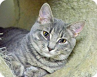 Domestic Shorthair Cat for adoption in Centreville, Virginia - Velma