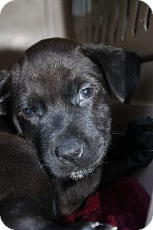 Labrador Retriever Mix Puppy for adoption in Waldorf, Maryland - Storm