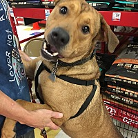 Adopt A Pet :: Brownie - Lawrenceville, GA