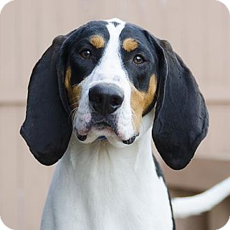 Coonhound Mix Dog for adoption in Adrian, Michigan - Banjo