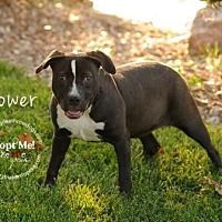 Pit Bull Terrier Mix Puppy for adoption in Topeka, Kansas - Flower
