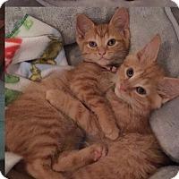 Adopt A Pet :: Cinderella - Horsham, PA