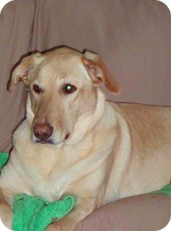 Anatolian Shepherd/Labrador Retriever Mix Dog for adoption in Brunswick, Ohio - Heidi