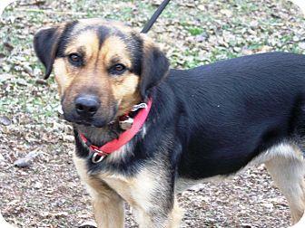 Shepherd (Unknown Type)/Labrador Retriever Mix Dog for adoption in Sedalia, Missouri - Sarge