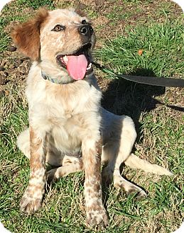 Cattle Dog/Spaniel (Unknown Type) Mix Puppy for adoption in Pulaski, Tennessee - Dusty Rose