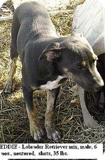 Labrador Retriever Mix Puppy for adoption in Moulton, Alabama - Eddie