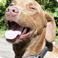 Adopt A Pet :: Bear - Lewisville, IN
