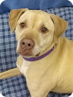Terrier (Unknown Type, Medium)/Labrador Retriever Mix Dog for adoption in Lake Odessa, Michigan - Porsha