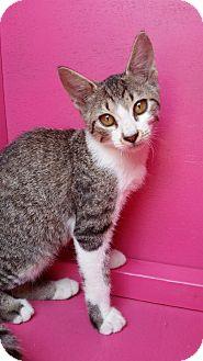 Domestic Shorthair Kitten for adoption in Ocala, Florida - MAYA* kitten