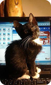 Domestic Shorthair Kitten for adoption in Ocala, Florida - Me!