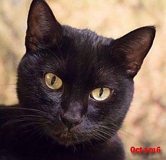 Domestic Shorthair Cat for adoption in Encino, California - Elsa