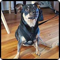 Adopt A Pet :: Bruno - Colorado Springs, CO