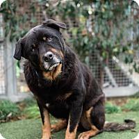 Adopt A Pet :: Dutch - Los Angeles, CA