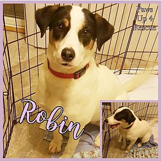 Beagle/Border Collie Mix Dog for adoption in Joliet, Illinois - Robin