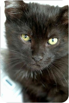 Domestic Shorthair Cat for adoption in Garland, Texas - Rosi