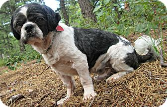 Shih Tzu Dog for adoption in Forked River, New Jersey - Gus