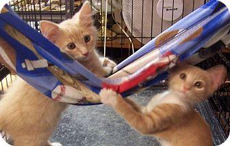 Domestic Mediumhair Kitten for adoption in Pineville, North Carolina - Fluff & Caramel