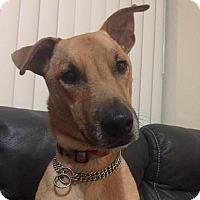 Adopt A Pet :: Blue - Homestead, FL