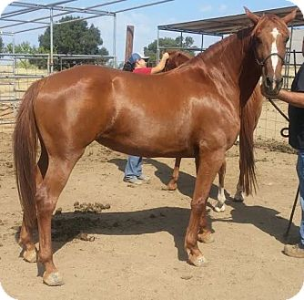 Tennessee Walking Horse/Morgan Mix for adoption in Sac, California - Copper