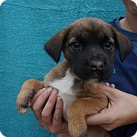 Adopt A Pet :: Ophie - Oviedo, FL