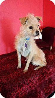 Cairn Terrier Mix Dog for adoption in Phoenix, Arizona - Tahlula