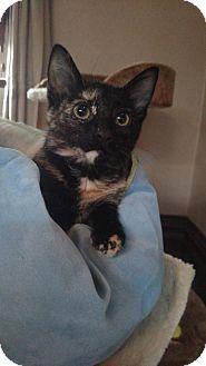 Domestic Shorthair Kitten for adoption in Cedar Rapids, Iowa - Gobbles