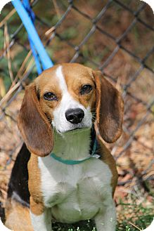 Beagle/Hound (Unknown Type) Mix Dog for adoption in Media, Pennsylvania - Lady