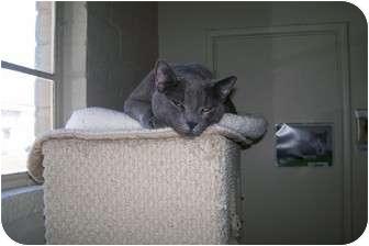 Russian Blue Cat for adoption in Scottsdale, Arizona - Chet
