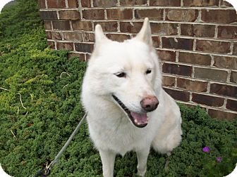 Siberian Husky Dog for adoption in Augusta County, Virginia - Wicket: perfect apartment dog
