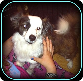 Papillon Mix Dog for adoption in Indian Trail, North Carolina - Shorty