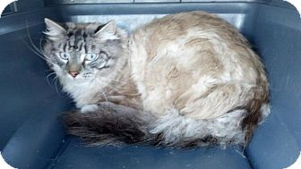 Himalayan Cat for adoption in Pittstown, New Jersey - Omar
